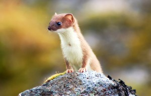 Alaska_Weasel