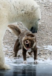 Dog vs. Polar Bear - by Alberto Panizza - Carters News
