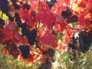 1280px-Autumn_grape_leaves